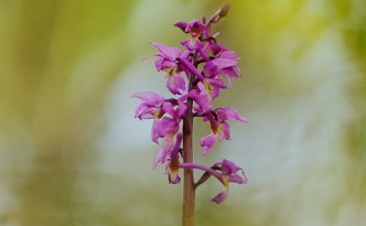 orchidee-rouge-orchis-male