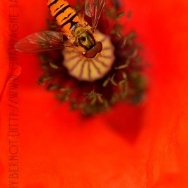 photo-de-coquelicot-syrphe
