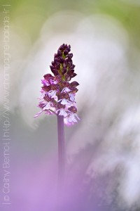 orchis-pourpre
