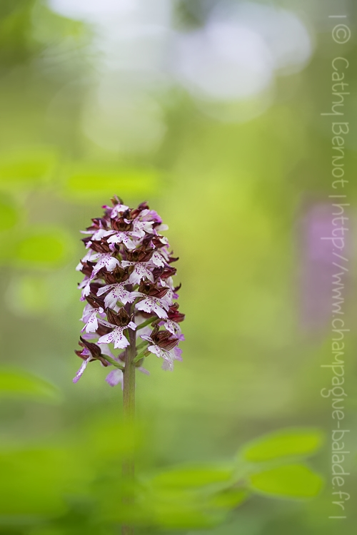orchidee sauvage ardennes